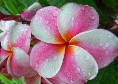 frangipani fresh wellness